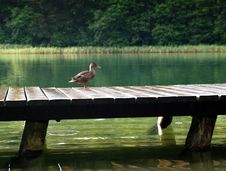 Free Duck On Wooden Dock At Daytime Royalty Free Stock Photography - 82933007