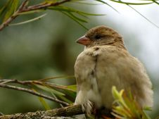 Free Sparrow In Tree Stock Photo - 82933120