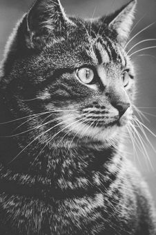 Free Greyscale Photography Of Tabby Cat Stock Photo - 82934160