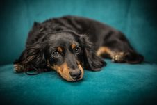 Free Black And Tan Long Coat Dog Stock Photos - 82934423