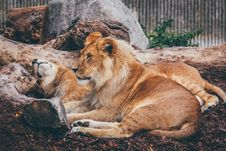 Free Brown Lion Lying Near Brown Trees Royalty Free Stock Images - 82935699