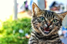 Free Cat Meowing Stock Image - 82936591