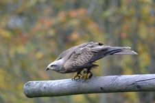 Free Grey Falcon Perched On Grey Branch In Selective Focus Photography Stock Photo - 82937190