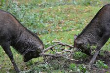 Free Two Male Deer Fighting During Daylight Royalty Free Stock Images - 82937539