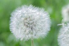 Free White Dandelion Stock Photo - 82938310