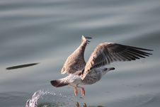 Free Seagull Over Water Stock Photo - 82938580