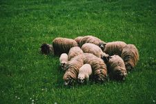Free Flock Of Sheep On Green Grass On Field At Daytime Royalty Free Stock Photo - 82939145
