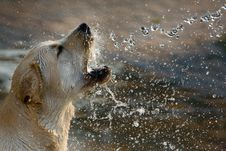 Free Brown Short Coated Dog Drinking Water Stock Photography - 82944112