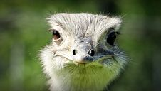 Free Ostrich Face During Daytime Stock Photo - 82945510