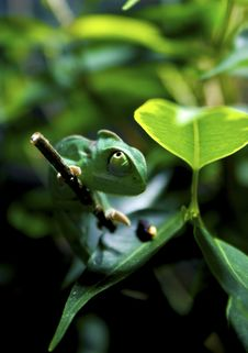 Free Green Chameleon On Tree Branch Royalty Free Stock Photography - 82945547