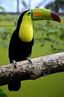 Free Toucan Parrot Outdoors Royalty Free Stock Images - 82946379
