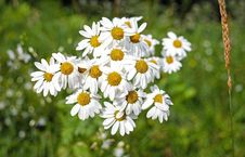 Free Bunch Of Chamomile Flowers Royalty Free Stock Photos - 82947638