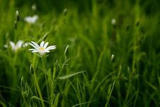 Free White Petal Flower With Green Linear Leaves Royalty Free Stock Photos - 82947718