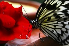 Free Black And White Butterfly On Red Flower Royalty Free Stock Photography - 82948397
