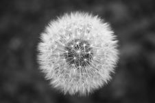 Free Dandelion Seed Head In Black And White Stock Image - 82948451