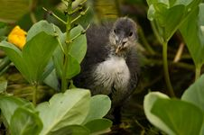 Free Coot In Garden Royalty Free Stock Image - 82948466