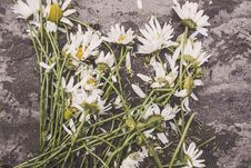 Free Cut White Daisies Stock Photos - 82949043