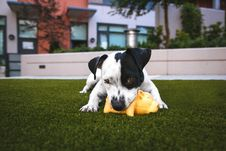 Free White And Black Jack Russell Terrier Biting Orange Rubber Pig Chew Toy Laying Down On Green Grass Lawn Stock Photos - 82949103