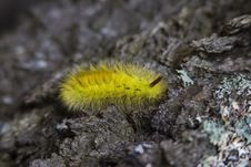 Free Yellow Tussock Moth Caterpillar On Black Rock Close Up Photography Stock Images - 82949524