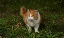 Free Somali Cat On Grass Close Up Photo Royalty Free Stock Image - 82949646