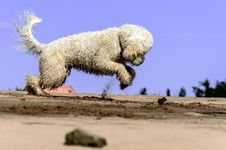 Free White Dog Digging In Sand Royalty Free Stock Photography - 82949817