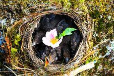 Free Hungry Baby Birds Royalty Free Stock Photos - 82950228
