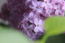 Free Selective Focus Of Purple Flowers Royalty Free Stock Images - 82950249