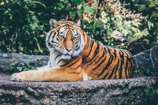 Free Brown And Black Reclining Tiger Stock Image - 82950501