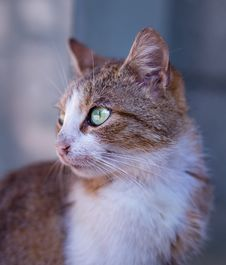 Free Tan And White Short Fur Cat On Close Up Photography Royalty Free Stock Photos - 82950578