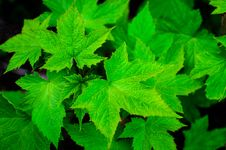 Free Close Up Of Green Leaves Stock Photos - 82950593