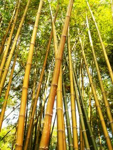 Free Bamboo Tree During Daytime Royalty Free Stock Photography - 82950667