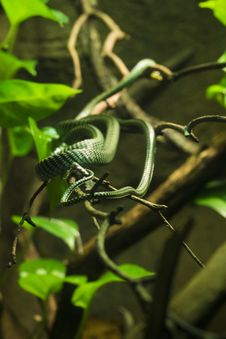 Free Green Snake In Branches Stock Photos - 82950773