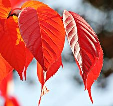 Free Close Up Of Fall Foliage Stock Photos - 82950803