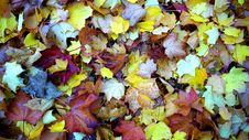 Free Maple Leaves On Ground Close Up Photo During Daytime Royalty Free Stock Photos - 82951148