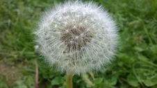 Free Dandelion Seed Head In Grass Royalty Free Stock Images - 82951259