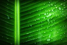 Free Green Banana Leaf With Substance Of Clear Liquid Stock Images - 82951314