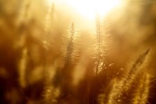 Free Grasses In Sunlight Royalty Free Stock Photography - 82951317