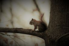 Free Squirrel In Tree Royalty Free Stock Image - 82951366