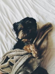 Free Black And Brown Yorkie Laying On Bed With Brown Towel Stock Photos - 82951483