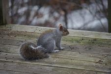 Free Squirrel On Wooden Deck Royalty Free Stock Photos - 82952078