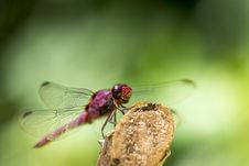 Free Dragonfly On Stick Stock Photos - 82952093
