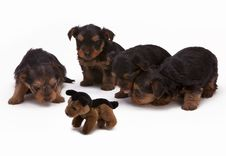 Free Black And Brown Long Haired Puppies Stock Photography - 82952462