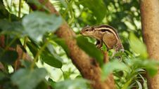 Free Squirrel On Branch On Leafy Tree Royalty Free Stock Photography - 82952737