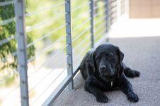 Free Black Short Coat Medium Dog Retriever Royalty Free Stock Photos - 82952838