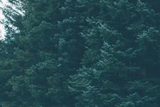 Free Green Forest Of Evergreen Conifer Trees Stock Images - 82952964