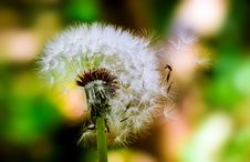 Free Dandelion Flower Seed Head Royalty Free Stock Images - 82952979