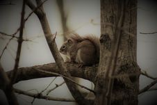 Free Squirrel In Tree Royalty Free Stock Photography - 82953137