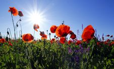 Free Red Poppies Against Blue Skies Royalty Free Stock Photo - 82953165