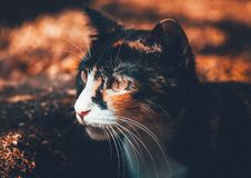 Free Portrait Of Domestic Cat Royalty Free Stock Image - 82953246