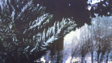 Free Close-up Of Pine Trees In Forest During Winter Royalty Free Stock Photo - 82953635